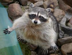 RaccoonAmethystPaws