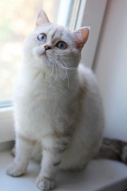 Cat-vi