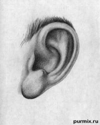 человеческое ухо простым карандашом