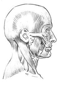 Как рисовать мышцы головы и лица