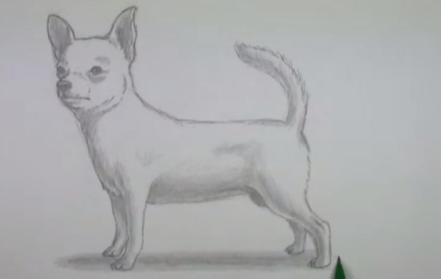 рисунки чихуахуа карандашом