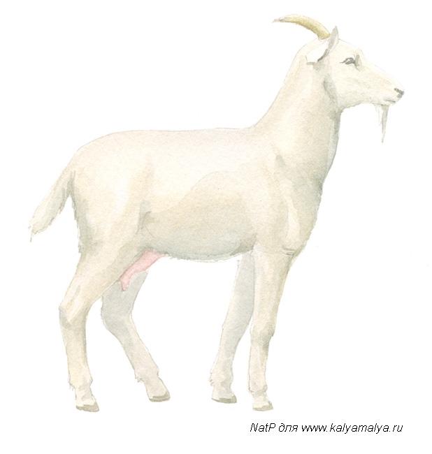 Как нарисовать козу карандашом поэтапно