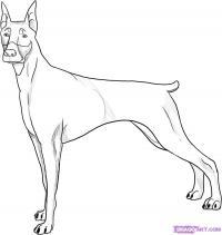 собаку добермана карандашом