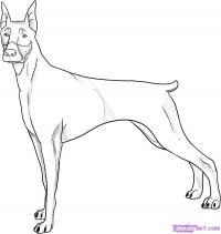 Фото собаку добермана карандашом