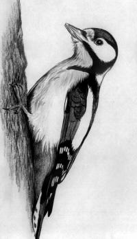 Рисунок дятла на дереве