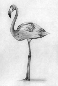 Фото фламинго в полный рост