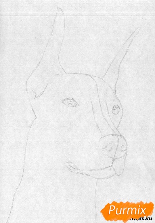 Рисуем голову добермана простым - шаг 1