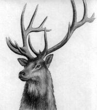 Как нарисовать голову оленя карандашами и ручкой поэтапно