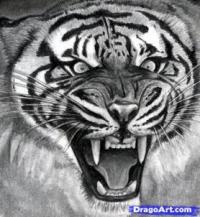 голову тигра карандашом