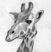 Фото голову жирафа