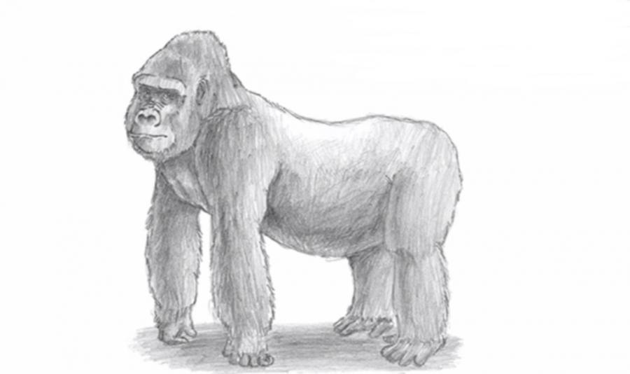 Как нарисовать гориллу простым карандашом поэтапно