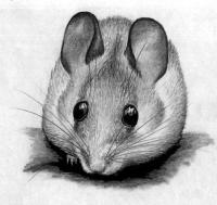 Фото мышку карандашом