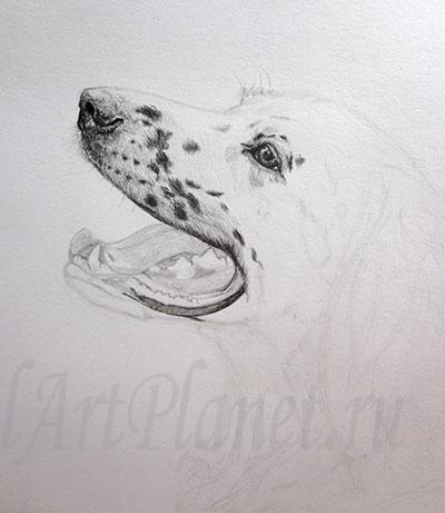 Рисуем  собаку породы Английский сеттер