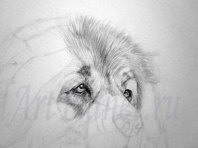 Рисуем Кавказскую овчарку - шаг 4