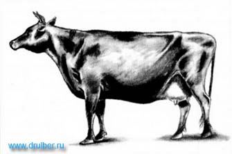 Как нарисовать корову карандашом поэтапно