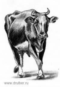 Как нарисовать корову в движении карандашом поэтапно