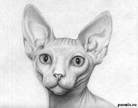 Фото кошку сфинкса карандашом
