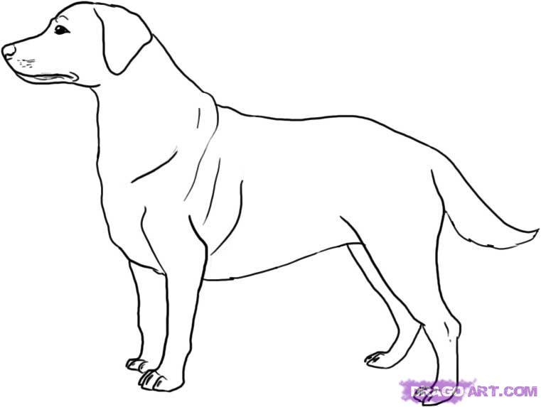 Как нарисовать Лабрадора карандашом поэтапно