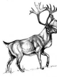 Фото лесного канадского оленя  карандашом
