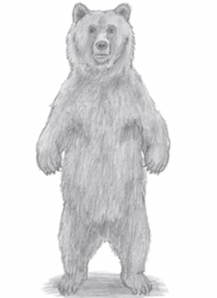 Как нарисовать медведя стоящего на задних лапах карандашом поэтапно
