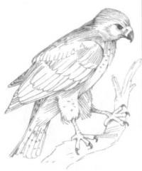 орла на ветке карандашом