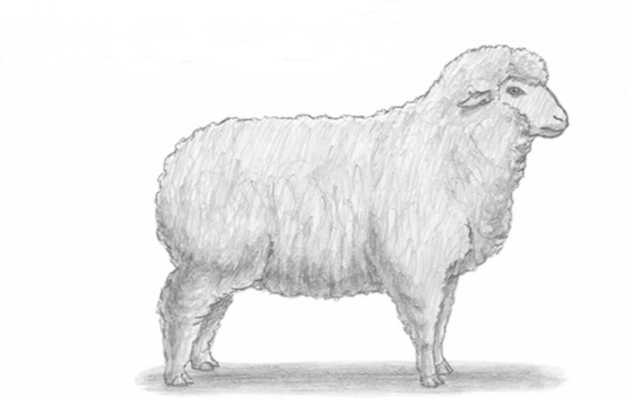 Рисуем овцу простым  на бумаге - шаг 6