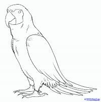 попугая Ара карандашом