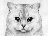 Рисунок портрет британской короткошерстной кошки