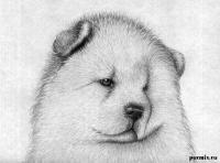 Как нарисовать портрет чау-чау карандашами поэтапно