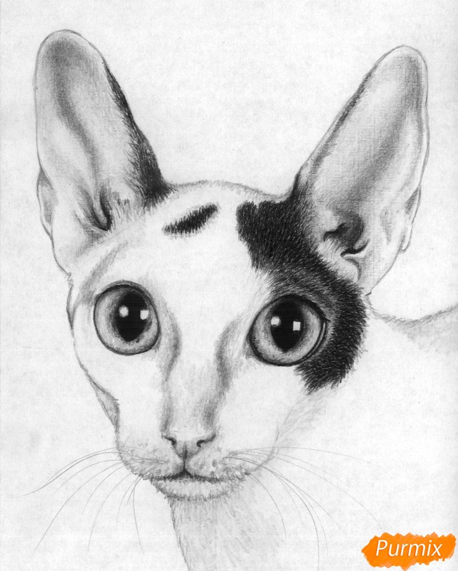 Как нарисовать портрет кошки породы корниш-рекс карандашом поэтапно
