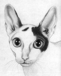 портрет кошки корниш-рекс карандашом