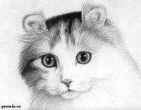 портрет кошки породы Американский кёрл