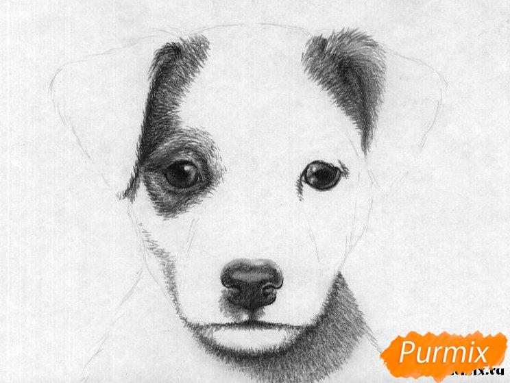 Рисуем портрет щенка породы джек-рассел-терьер - шаг 3