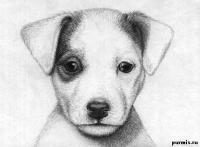 Рисунок портрет щенка джек-рассел-терьера