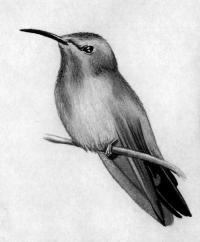 птицу колибри карандашами ручкой