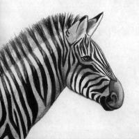 Как нарисовать реалистичную голову зебры поэтапно