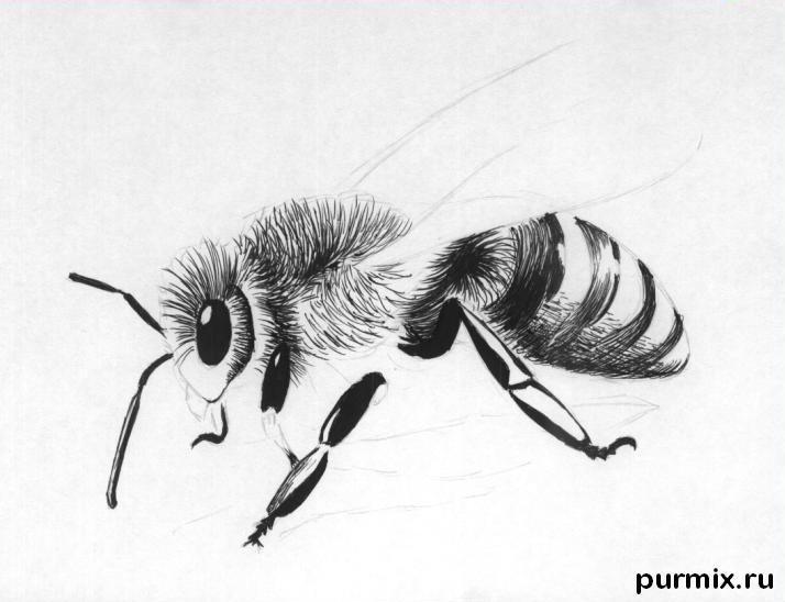 Рисуем реалистичную пчелу - шаг 2