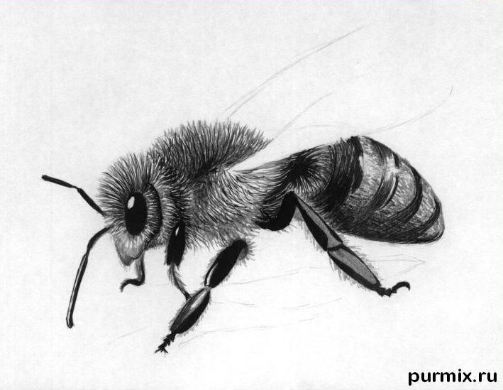 Рисуем реалистичную пчелу - шаг 3