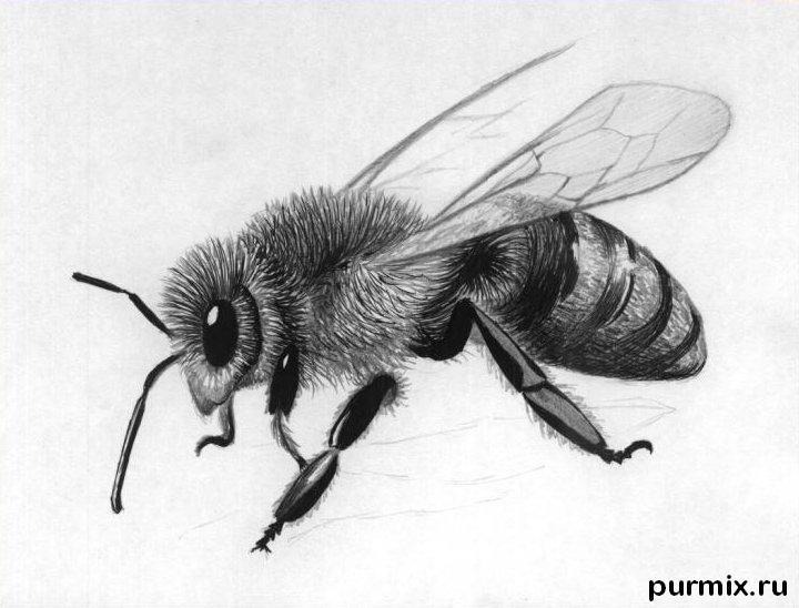 Рисуем реалистичную пчелу - шаг 4