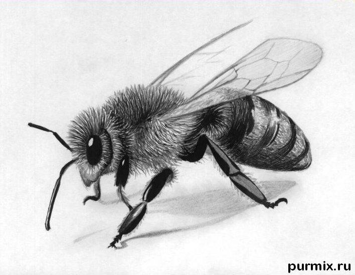 Рисуем реалистичную пчелу - шаг 5