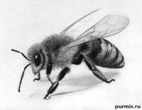 реалистичную пчелу простым карндашом