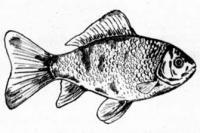 рыбу карандашом