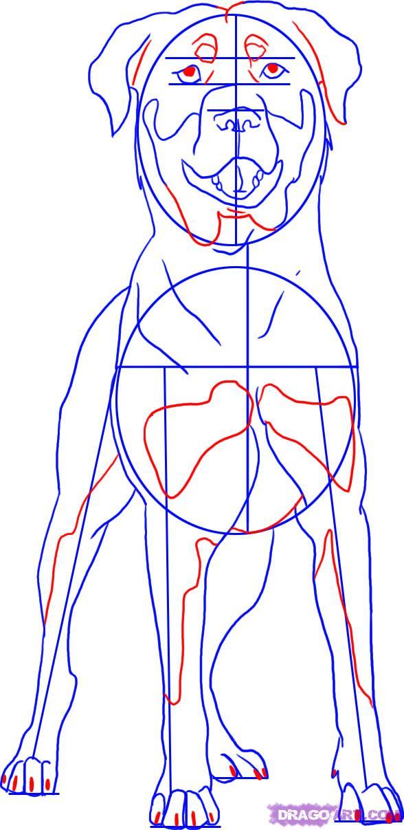 Рисуем собаку Ротвейлера - шаг 5
