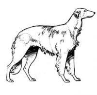 русскую псовую борзую собаку  карандашом