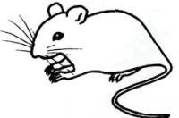 Фото серую мышь карандашом  на бумаге