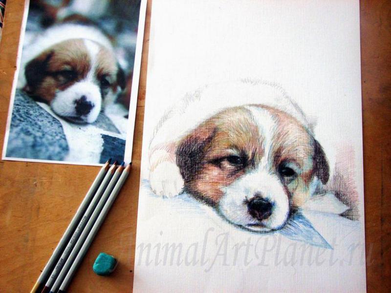 Рисуем щенка цветными карандашами - шаг 4