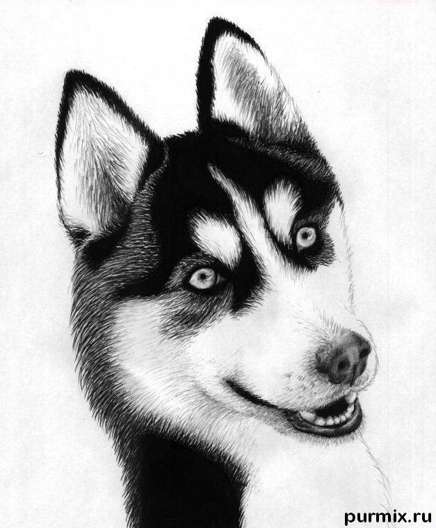 Как нарисовать собаку породы хаски карандашом поэтапно