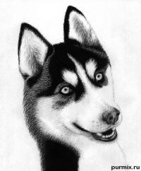 собаку хаски карандашом