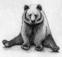 Рисунок сидящего медведя
