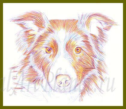 Рисуем собаку Бордер-колли цветными карандашами